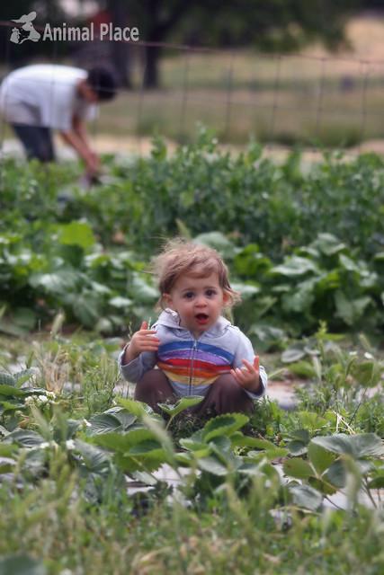 Young visitor enjoying strawberries
