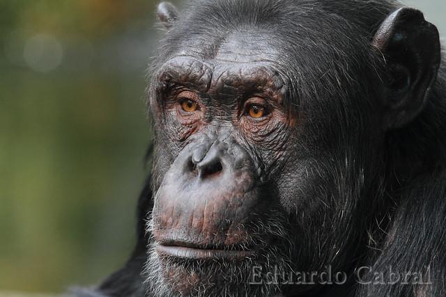 Chimpancé _MG_1742