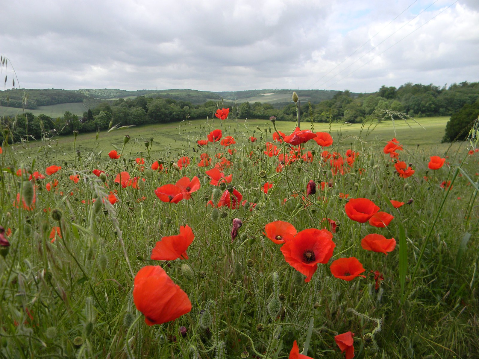 Poppies Cuxton to Sole Street