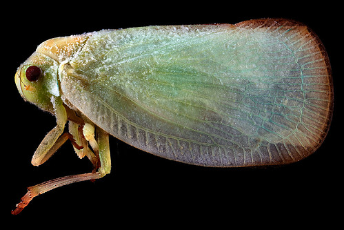 Plant-Hopper,-side_2012-07-06-19.25.23-ZS-PMax | by Sam Droege