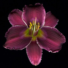 Daylily - Indian Giver