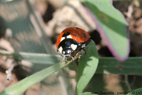 Marieta de set punts (Coccinella septempunctata) | by Joan Quintana (joanillo)