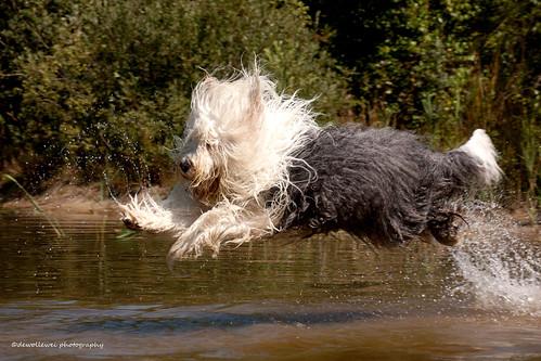 sheepdog oes oldenglishsheepdog oldenglishsheepdogs sweetexpressions sweetexpression dewollewei magicunicornverybest magicunicornmasterpiece