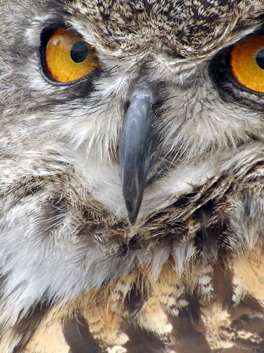 bird nature eyes beak raptor owl birdsofprey birdofprey greathornedowl feahers