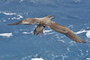 011058-IMG_6887 Wedge-tailed Shearwater (Ardenna pacifica) by ajmatthehiddenhouse