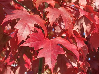 Red Maple Tree Leaves, Maple Tree with Vibrant Red Leaves | by Tree Pics