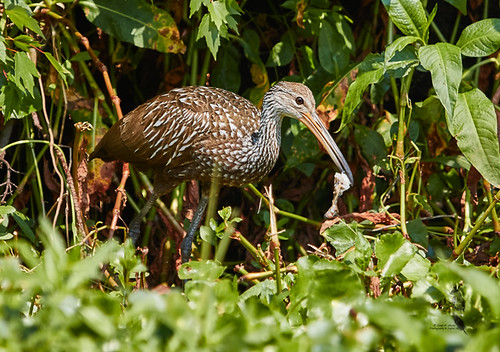 Limpkin (Aramus guarauna) 2756.jpg | by Janet M. Heintz / Photography & Digital Art