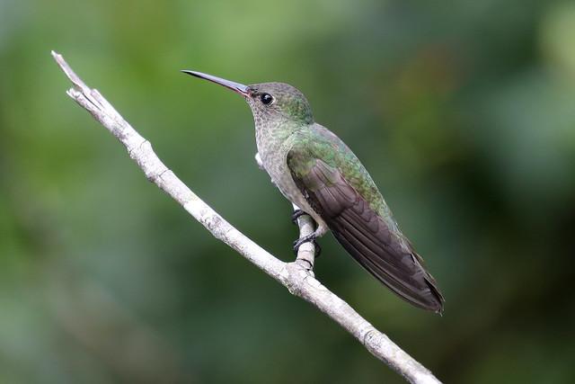 Scaly-breasted Hummingbird - Phaeochroa cuvierii