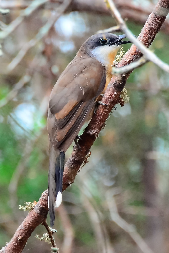 Галапагосская американская кукушка, Coccyzus melacoryphus, Dark-billed Cuckoo
