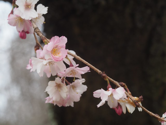 日, 2018-04-01 13:04 - Brooklyn Botanic Garden