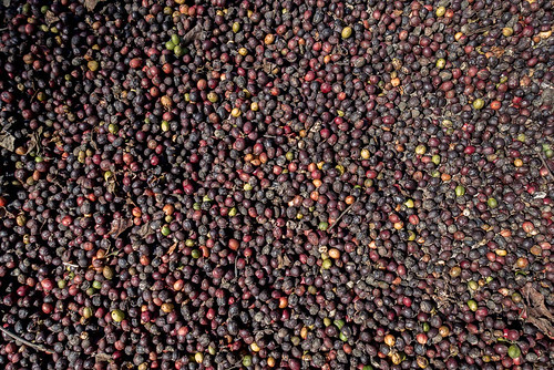grains séchage café kabbinakad karnataka inde ind