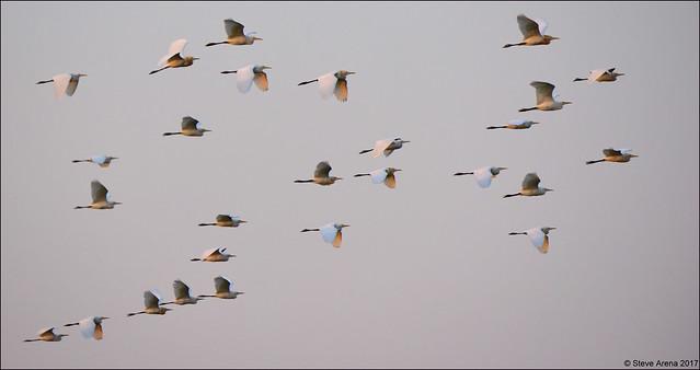 Eastern Cattle Egret (Bubulcus ibis coromandus)