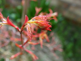 Acer Buds | by stephanellidesigns