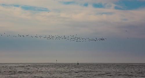 camiers hautsdefrance france fr eos6d canon6d canonef100300mmf4556usm letouquet lr airfleet 7dwf birds oiseaux fauna