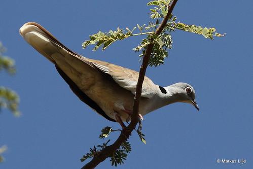 whitewingedcollareddove streptopeliareichenowi dove ethiopia markuslilje bird birds birding