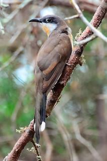 Галапагосская американская кукушка, Coccyzus melacoryphus, Dark-billed Cuckoo   by Oleg Nomad