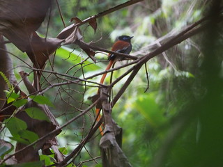 African Paradise Flycatcher | by Phil Gate Keeper