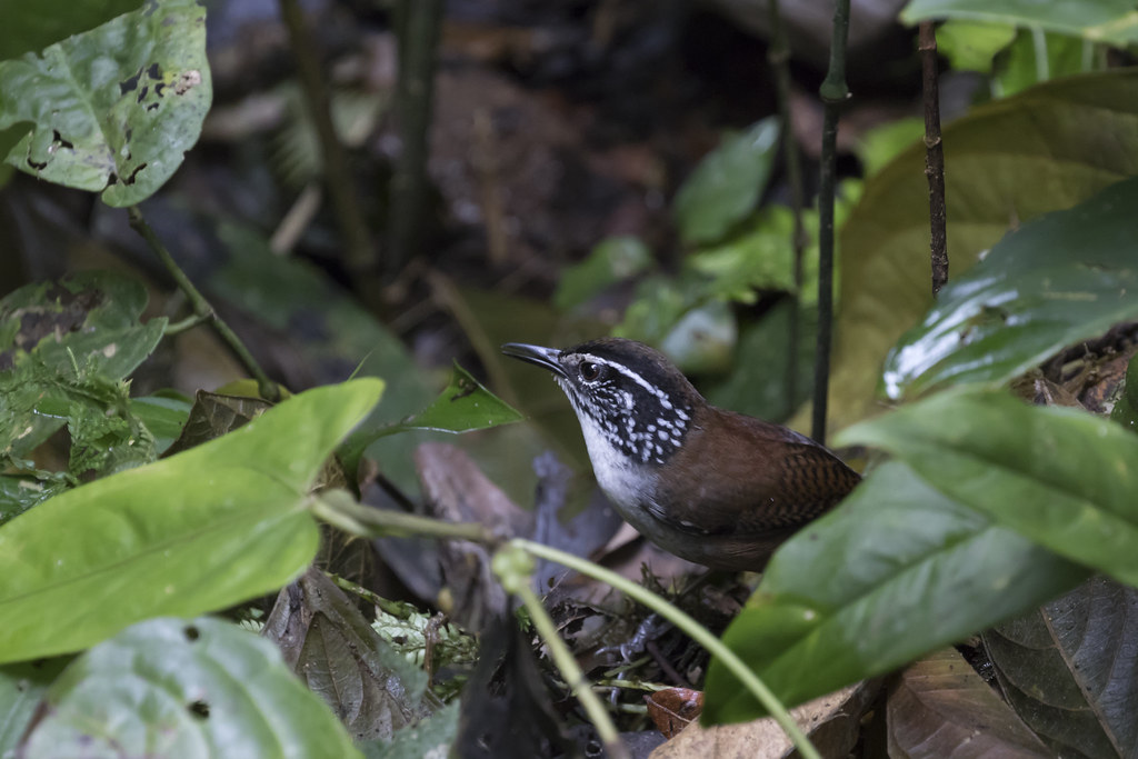 Henicorhina leucosticta / White-breasted Wood-Wren
