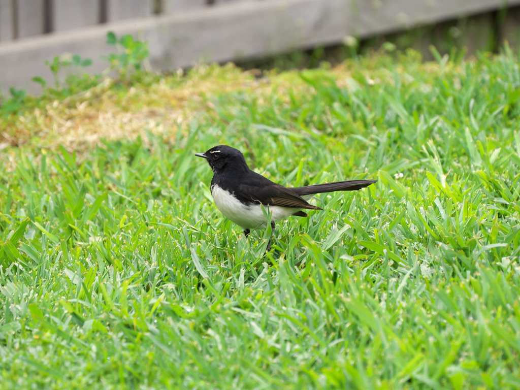 Willie Wagtail on the grass