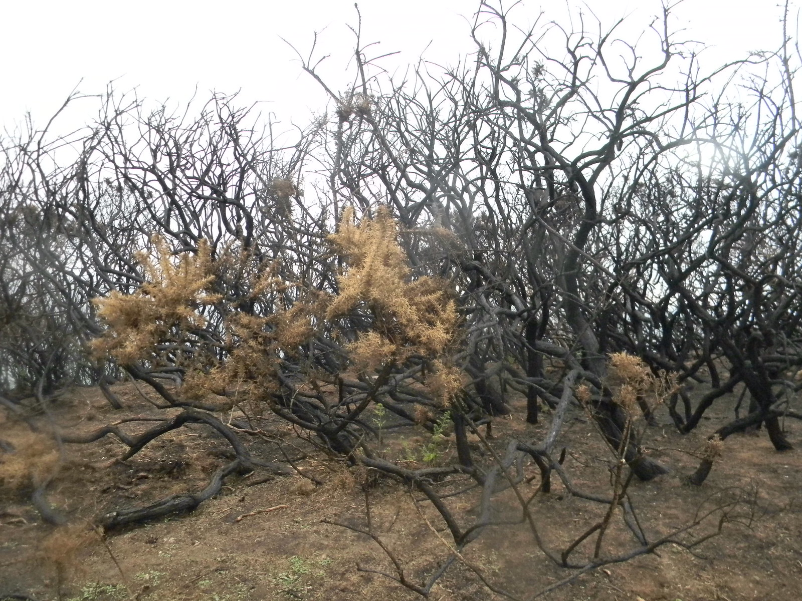 Burnt gorse On the aptly named Firehills. Hastings to Rye