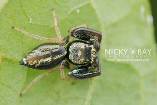 Jumping Spider (Thiania sp.) - DSC_5654