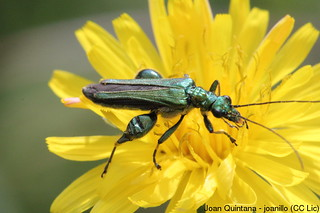 Oedemera flavipes (mascle) (confirmation needed) | by Joan Quintana (joanillo)
