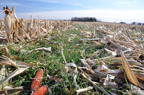 Cover Crops (Rye Grass) | by NRCS Soil Health