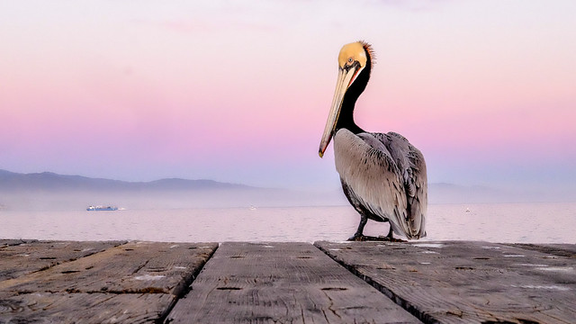 Pelican on the pier.