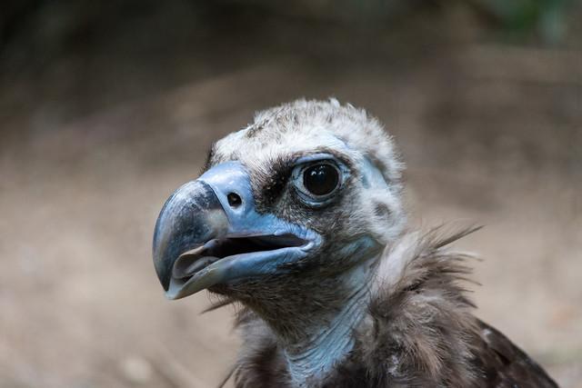 Derp Vulture