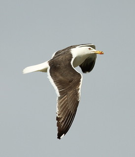 2012_08_17 WP - Lesser Black-backed Gull (Larus fuscus) | by Oretani Wildlife (Mike Grimes)