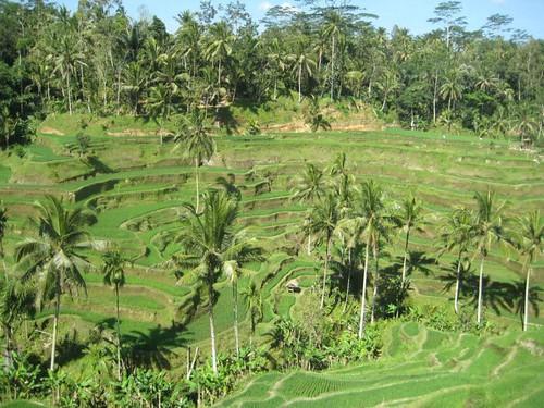 Terrazas de Arroz. Bali, Indonesia. | by juanma.
