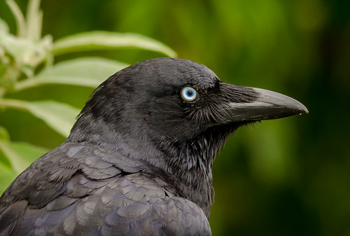 Eye to Eye with a crow's eye | by James Niland