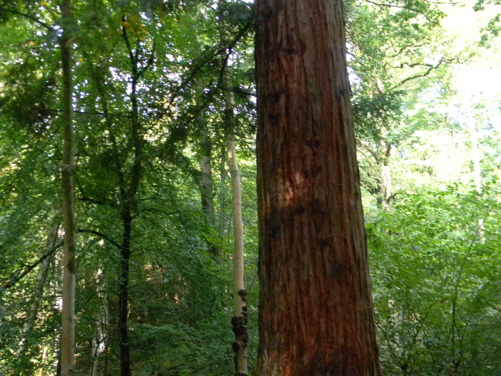 Redwood, Nymans Balcombe Circular