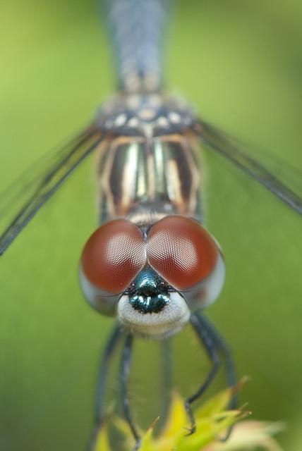 Pachydiplax longipennis Head On