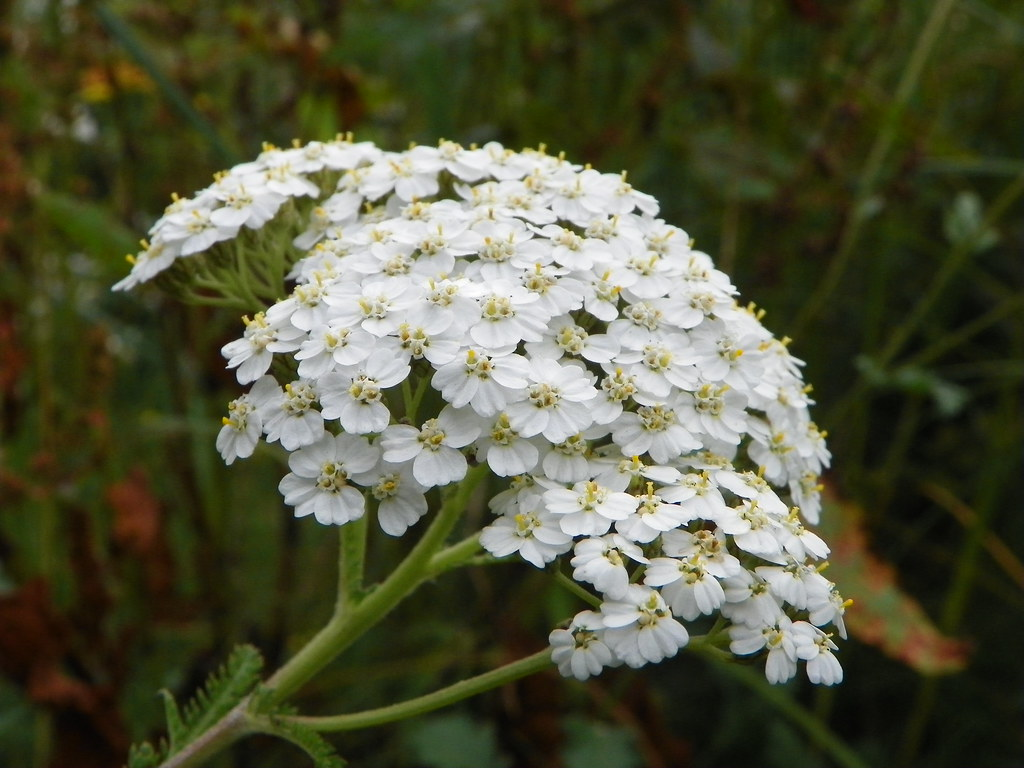 Yarrow (Achillea millefolium) | Yarrow (Achillea millefolium… | Flickr