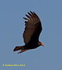 Greater Yellow-headed Vulture,    Aura Selvática,   Cathartes melambrotus, by Graham Ekins