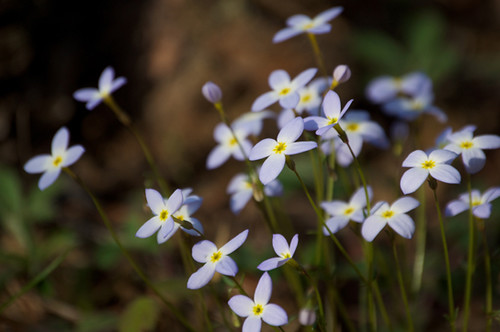 Azure Bluet (Houstonia caerulea) | by Words & Numbers - Donated Photos