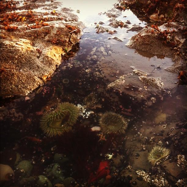 Cool Story, Nature. (Fitzgerald Marine Reserve Sea Anemone