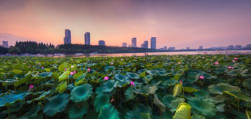 sunset panorama lotus flower waterlily green nature landscape city building architecture summer bud petal twilight dusk dark nikon d800 nikond800 tamronsp1530f28
