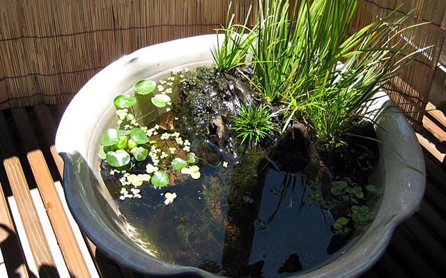 セキショウ 石菖 黄金石菖 姫石菖 ビオトープ 日本庭園