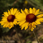 Brown-Eyed Daisy