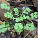 flickweed (Cardamine hirsuta)