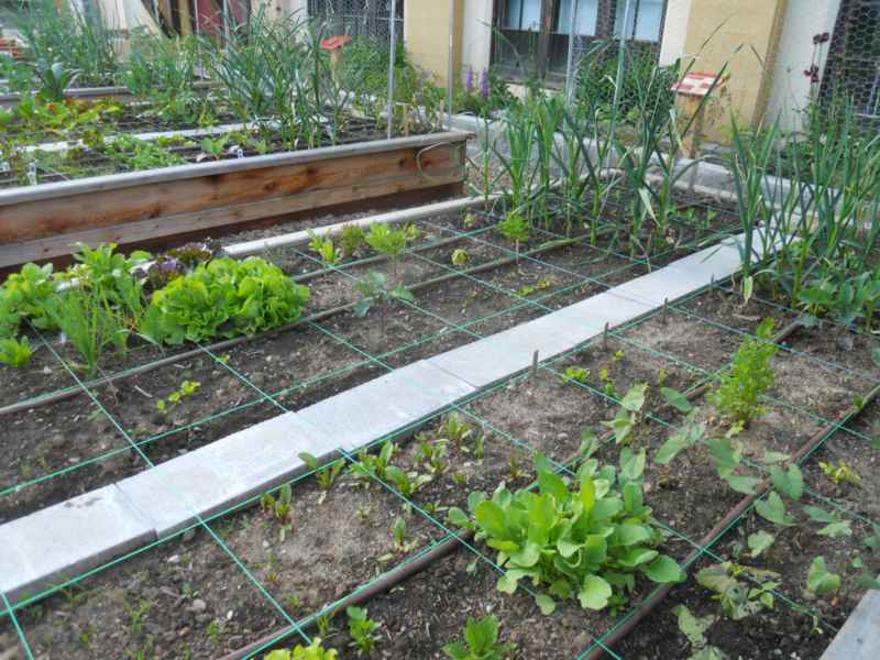 Community Garden Revelstoke Canada 13
