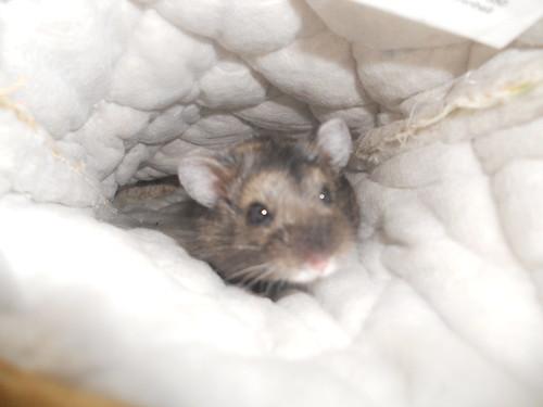 Russian dwarf Hamster Inside Oven Mitt | by Lyn Lomasi
