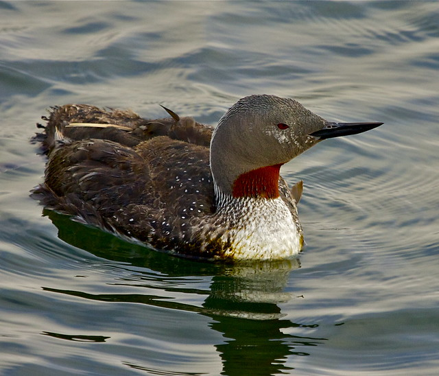 Red-throated Loon