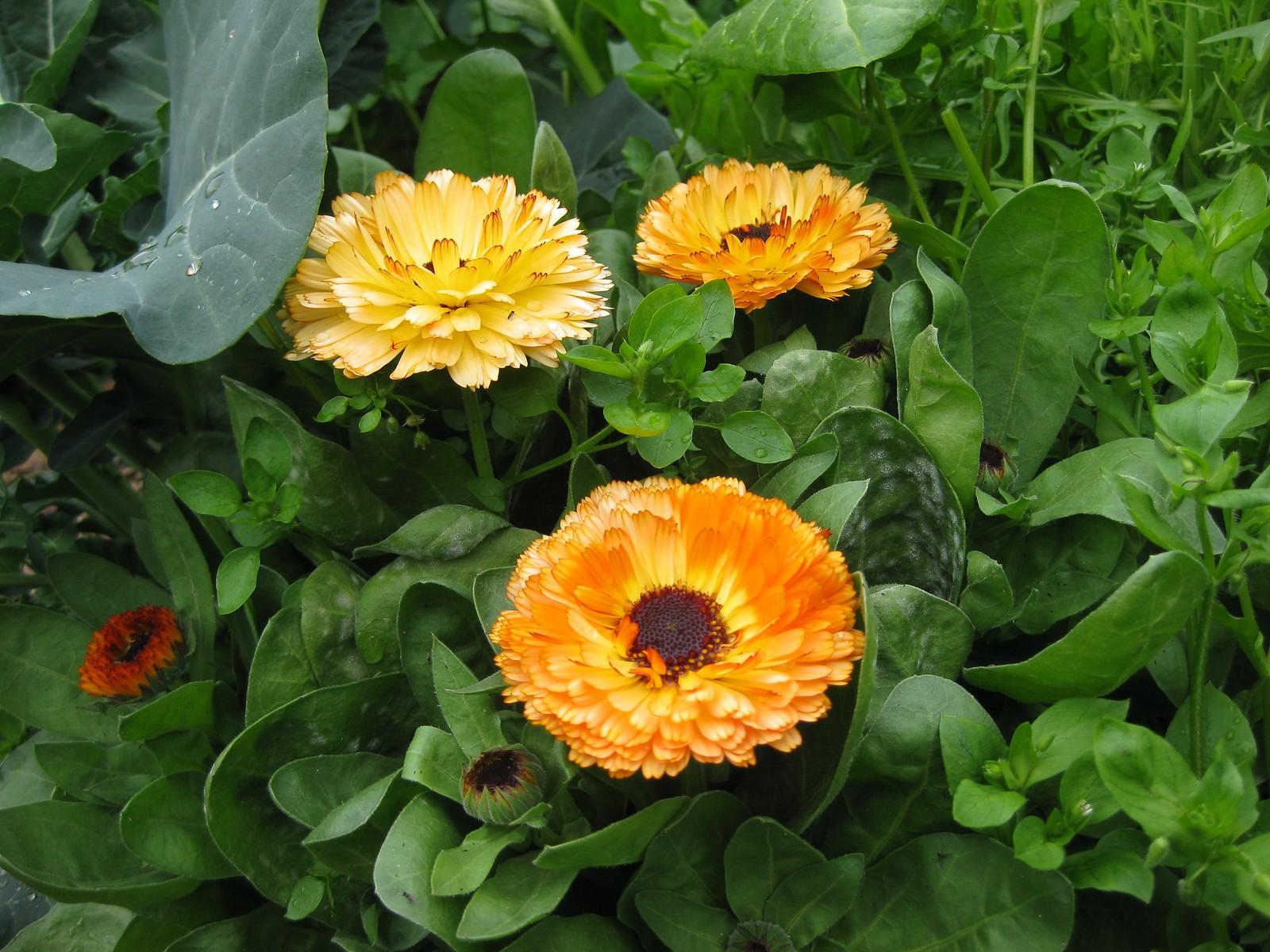 Garden Calendula