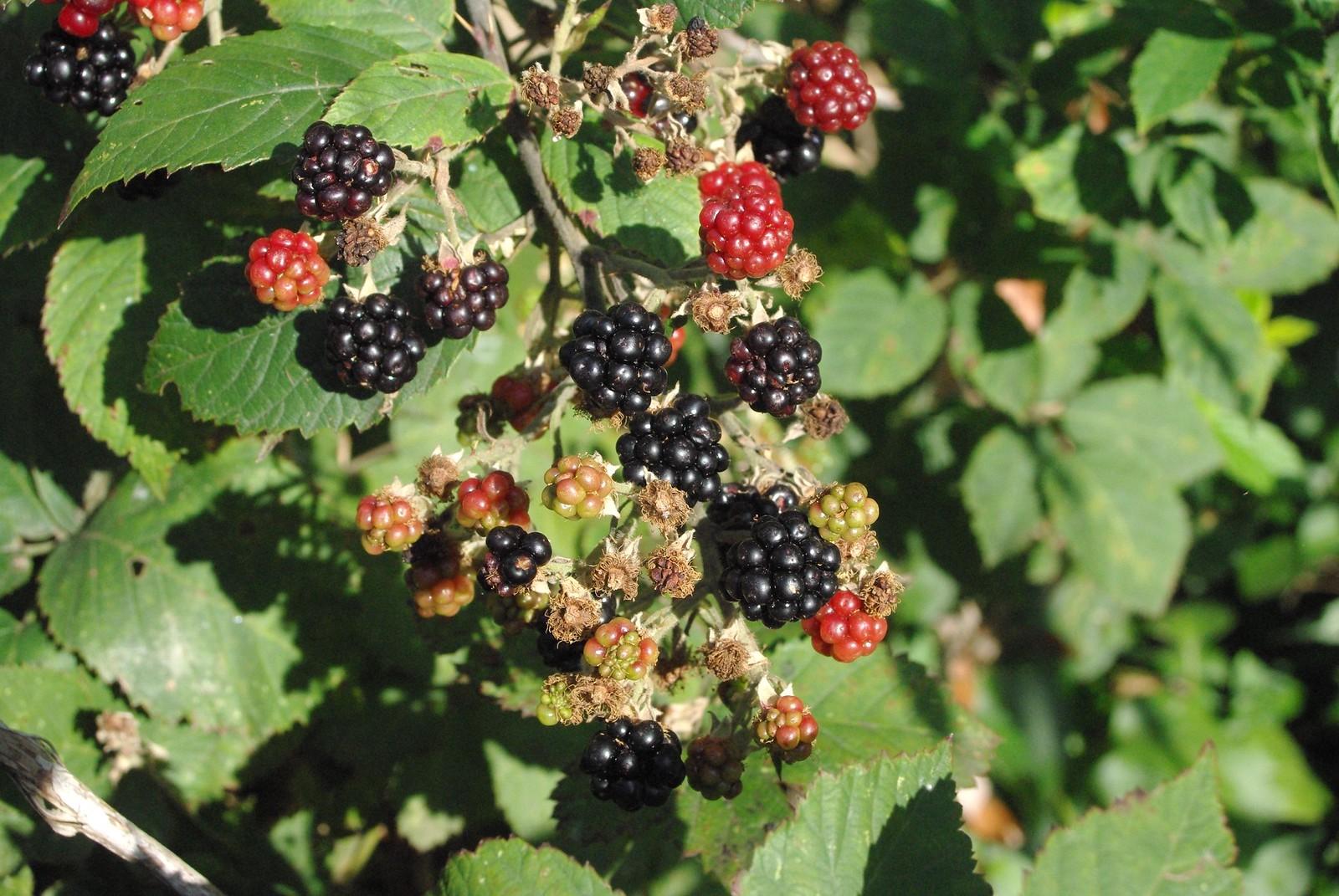 blackberries, yum!