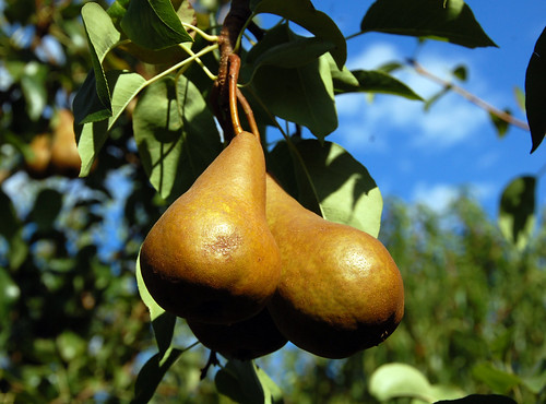 244. Pear of pairs | by oropeza