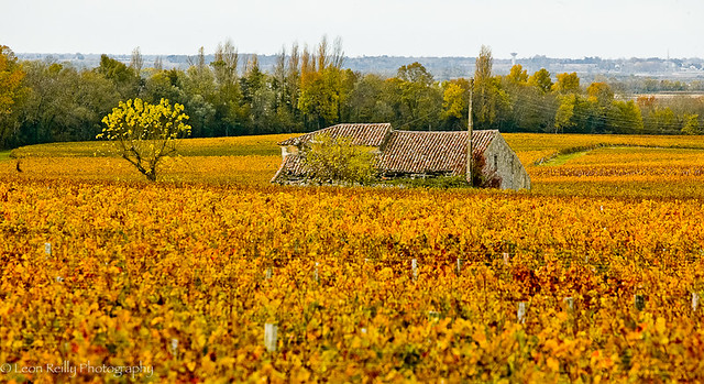 Autumnal Bordeaux Vineyard