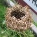 Queen Anne s lace (Daucus carota)